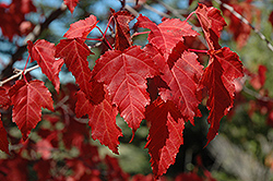 Amur Maple (Acer ginnala) at Landsburg Landscape Nursery