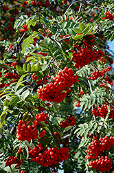 European Mountain Ash (Sorbus aucuparia) at Landsburg Landscape Nursery