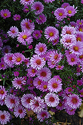 Purple Dome Aster (Aster novae-angliae 'Purple Dome') at Landsburg Landscape Nursery