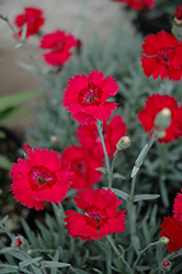 Red Beauty Pinks (Dianthus gratianopolitanus 'Red Beauty') at Landsburg Landscape Nursery