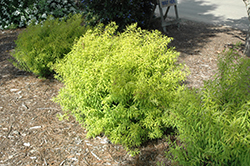 Mellow Yellow Spirea (Spiraea thunbergii 'Mellow Yellow') at Landsburg Landscape Nursery