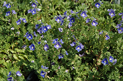 Tidal Pool Speedwell (Veronica 'Tidal Pool') at Landsburg Landscape Nursery
