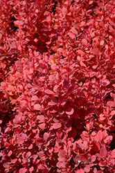 Orange Rocket Japanese Barberry (Berberis thunbergii 'Orange Rocket') at Landsburg Landscape Nursery
