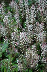 Sugar And Spice Foamflower (Tiarella 'Sugar And Spice') at Landsburg Landscape Nursery