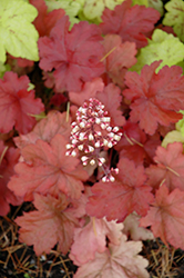 Fire Alarm Coral Bells (Heuchera 'Fire Alarm') at Landsburg Landscape Nursery