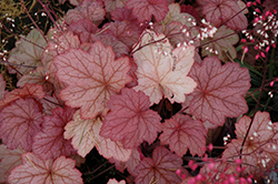 Georgia Peach Coral Bells (Heuchera 'Georgia Peach') at Landsburg Landscape Nursery