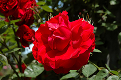 Ramblin' Red Rose (Rosa 'Ramblin' Red') at Landsburg Landscape Nursery