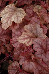 Copper Cascade™ Foamy Bells (Heucherella 'Copper Cascade') at Landsburg Landscape Nursery