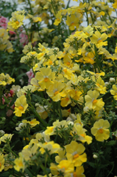 Sunsatia Lemon Nemesia (Nemesia 'Sunsatia Lemon') at Landsburg Landscape Nursery