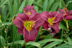 Little Grapette Daylily (Hemerocallis 'Little Grapette') at Landsburg Landscape Nursery