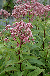 Baby Joe Dwarf Joe Pye Weed (Eupatorium dubium 'Baby Joe') at Landsburg Landscape Nursery