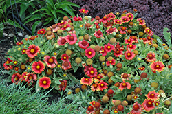 Arizona Red Shades Blanket Flower (Gaillardia x grandiflora 'Arizona Red Shades') at Landsburg Landscape Nursery