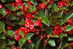 Big® Red Green Leaf Begonia (Begonia 'Big Red Green Leaf') at Landsburg Landscape Nursery