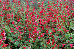 Summer Jewel Red Sage (Salvia 'Summer Jewel Red') at Landsburg Landscape Nursery