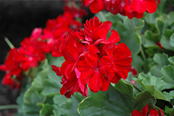 Calliope® Dark Red Geranium (Pelargonium 'Calliope Dark Red') at Landsburg Landscape Nursery
