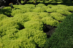 Lemon Ball Stonecrop (Sedum rupestre 'Lemon Ball') at Landsburg Landscape Nursery