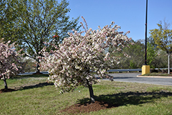 Candymint Flowering Crab (Malus sargentii 'Candymint') at Landsburg Landscape Nursery