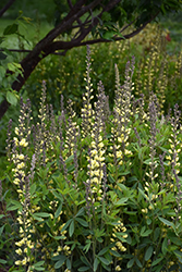 Carolina Moonlight False Indigo (Baptisia 'Carolina Moonlight') at Landsburg Landscape Nursery