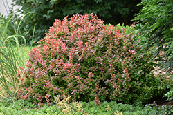 Admiration Japanese Barberry (Berberis thunbergii 'Admiration') at Landsburg Landscape Nursery
