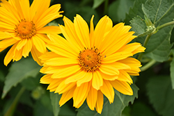 Venus False Sunflower (Heliopsis helianthoides 'Venus') at Landsburg Landscape Nursery