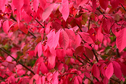 Winged Burning Bush (Euonymus alatus) at Landsburg Landscape Nursery