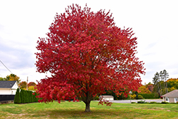 Red Maple (Acer rubrum) at Landsburg Landscape Nursery