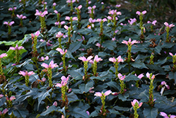 Hot Lips Turtlehead (Chelone lyonii 'Hot Lips') at Landsburg Landscape Nursery