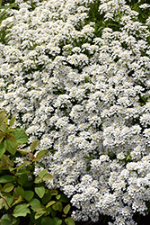 Candytuft (Iberis sempervirens) at Landsburg Landscape Nursery
