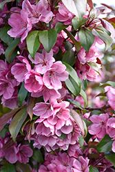 Gladiator™ Flowering Crab (Malus 'DurLeo') at Landsburg Landscape Nursery