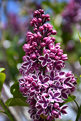 Sensation Lilac (Syringa vulgaris 'Sensation') at Landsburg Landscape Nursery
