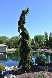 Weeping White Spruce (Picea glauca 'Pendula') at Landsburg Landscape Nursery