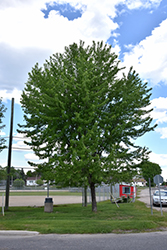 Silver Maple (Acer saccharinum) at Landsburg Landscape Nursery