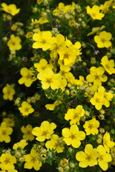 Dakota Sunspot Potentilla (Potentilla fruticosa 'Fargo') at Landsburg Landscape Nursery