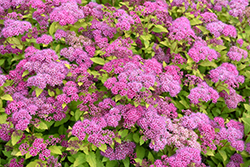 Magic Carpet Spirea (Spiraea x bumalda 'Magic Carpet') at Landsburg Landscape Nursery