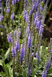 Blue Skywalker Speedwell (Veronica 'Blue Skywalker') at Landsburg Landscape Nursery