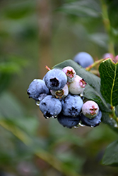 Chippewa Blueberry (Vaccinium 'Chippewa') at Landsburg Landscape Nursery
