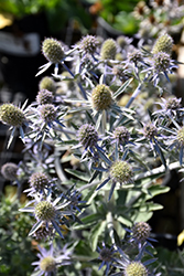 Blue Hobbit Sea Holly (Eryngium planum 'Blue Hobbit') at Landsburg Landscape Nursery