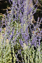 Little Spire Russian Sage (Perovskia 'Little Spire') at Landsburg Landscape Nursery
