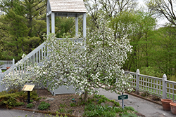 Chestnut Crab Apple (Malus 'Chestnut') at Landsburg Landscape Nursery