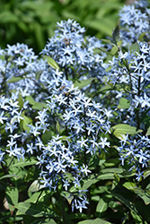 Storm Cloud Bluestar (Amsonia tabernaemontana 'Storm Cloud') at Landsburg Landscape Nursery