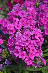 Purple Flame Garden Phlox (Phlox paniculata 'Purple Flame') at Landsburg Landscape Nursery