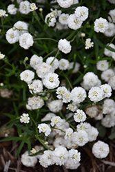 Peter Cottontail Yarrow (Achillea ptarmica 'Peter Cottontail') at Landsburg Landscape Nursery