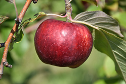 Frostbite™ Apple (Malus 'MN 447') at Landsburg Landscape Nursery